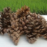 white-pine-cones