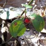 Wintergreen aka Teaberry