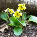 Yellow Wood Violet