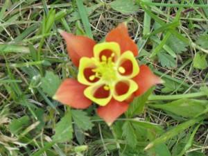 Canadian Columbine (aquilegia canadensis)