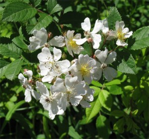 Multiflora Rose (Rosa multiflora) A real problem plant, but a lovely smell in the morning
