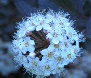Closeup of Ninebark flower head