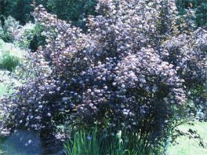 Purple-leafed Ninebark (Physocarpus opifolius Diablo)