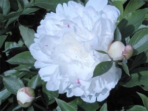 Peony (Paeonia)