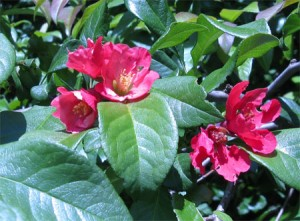 Japanese Flowering Quince (Chaenomeles japonica)