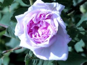 Old-Fashioned Shrub Rose (Rosa)