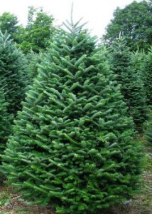 Christmas Trees: Artificial vs. Real « Pfeiffer Nature Center