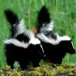 two skunks